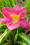 Day Lily Royalty Free Stock Photos