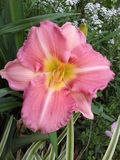 Day Lily. This  pink   and   white  day lily  was  photographed  using   my   cell  phone Stock Photos