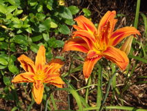 Day lily with triple petals Stock Images