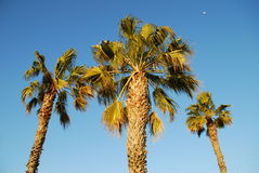 Day Moon Palm Trees. An afternoon in Belmont Shore California Stock Image