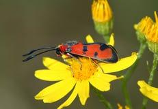 Day moth (Zugaena laeta) Stock Photo