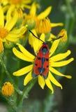 Day moth (Zugaena laeta) Stock Photography
