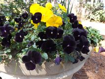 Day and Night Pansies Royalty Free Stock Photos
