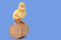 A day-old chick. Standing on the wood bricket Royalty Free Stock Photos