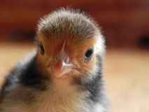 Day old Chick Royalty Free Stock Photo