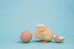 Day old chick with eggshell on blue background Stock Images