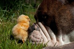Day-old chickens hang out with a Old English Bulldog