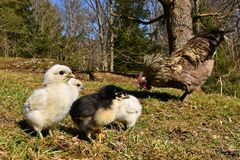 Day-old chicks photographed in group on free range. Day-old chicks photographed in group with wide angle, from the Hedemora free range breed in Sweden. The royalty free stock images