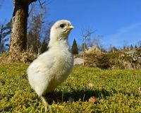 Day-old chicks photographed in group on free range. Day-old chicks photographed in group with wide angle, from the Hedemora free range breed in Sweden. The royalty free stock photos