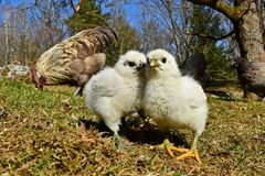 Day-old chicks photographed in group on free range. Day-old chicks photographed in group with wide angle, from the Hedemora free range breed in Sweden. The stock images
