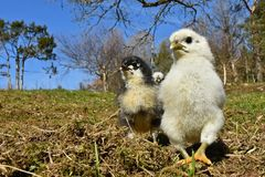 Day-old chicks photographed in group on free range. Day-old chicks photographed in group with wide angle, from the Hedemora free range breed in Sweden. The stock image