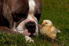 Day-old de kippen hangen uit met een Oude Engelse Buldog Stock Fotografie