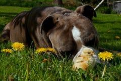 Day-old de kippen hangen uit met een Oude Engelse Buldog Royalty-vrije Stock Foto's