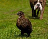 Day-old de kippen hangen uit met een Oude Engelse Buldog Royalty-vrije Stock Foto