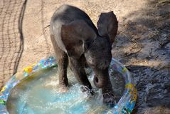 6-day-old elephant baby being outside for the first time stock image