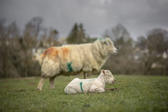 Day-old lambs and ewe. Spring. UK Royalty Free Stock Photo