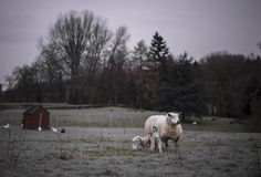 Day-old lambs and ewe. Spring. UK Royalty Free Stock Photography