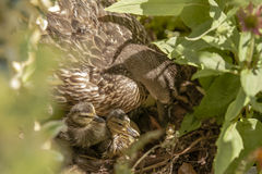 Day old Mallard Ducklings & Female Mallard in Bush Stock Photo