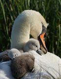 Mute Swan Cygnet On Nest royalty free stock photography