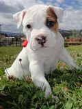 Pit Bull Terrier & Dogo Argentino. A day in the park with the herd, curious left pirate puppy, intrepid looking towards the camera Royalty Free Stock Photo