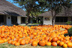 Pumpkin farm. Scenic view of large group of pumpkins on grass with buildings in background Royalty Free Stock Photos