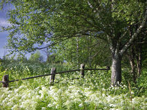 Day of the summer. View with the birch and the old fence Stock Photography