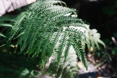Sunlight on close up fern leaves in forest. royalty free stock photography