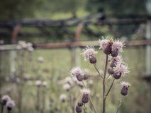 The Day of the Thistles Royalty Free Stock Images