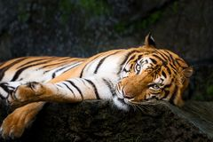 Portrait of tiger. During the day, a tiger is relaxing. Panthera tigris corbetti in the natural habitat, wild dangerous animal in the natural habitat, in stock photos