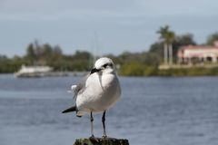 Seagull standing on a wooden post. A white and grey seagull standing on a post next to the ocean royalty free stock photography