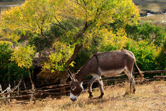 Day view of Autumn scene with pony. , Inner Mongolia stock photography