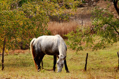 Day view of Autumn scene with a white horse. At Inner Mongolia stock photo