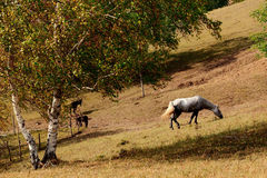 Day view of Autumn scene with a white horse. At Inner Mongolia stock photos