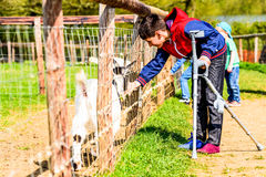 Day view disabled boy on crutches feeding goat.  Royalty Free Stock Photo