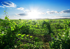 Day in vineyard Royalty Free Stock Image
