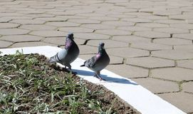 Day walk of pigeons stock photo