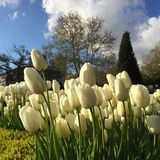 A day with white tulips. Park in the white tulips royalty free stock photos