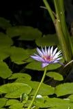 dayblooming liljapink Royaltyfria Bilder