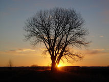 Daybreak. Barren cottonwood tree at daybreak Stock Images