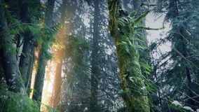 Daybreak In The Forest. Sunlight breaks through tall forest trees at dawn stock video footage
