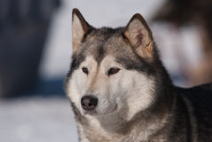 Daydream Husky Stock Images