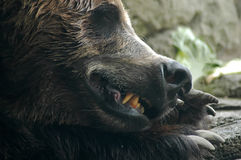 Daydreaming. Close-up portrait of grizzly bear face with slightly open mouth and teeth and front claws visible Royalty Free Stock Images