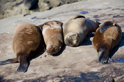 Daydreaming California sea lions Royalty Free Stock Photography