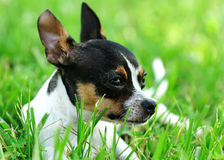 Daydreaming Chihuahua Royalty Free Stock Photos