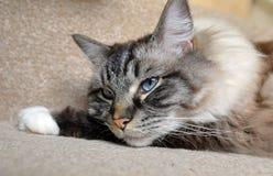 DAYDREAMING PEDIGREE RAGDOLL. Happy sleepy daydreaming cat close-up Royalty Free Stock Photography