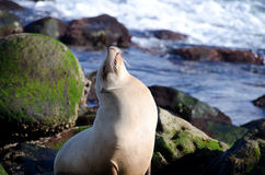 Daydreaming sea lion takes near Point La Jolla. San Diego Royalty Free Stock Photos