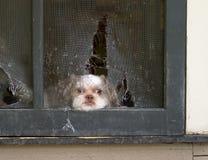 Daydreams do filhote de cachorro de Shih Tzu do escape através da tela Fotografia de Stock Royalty Free