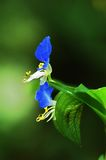 Dayflower Fotografie Stock