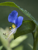 Dayflower asiatico del Kentucky Fotografie Stock Libere da Diritti