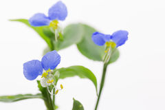 Dayflower in a white background Stock Photos
